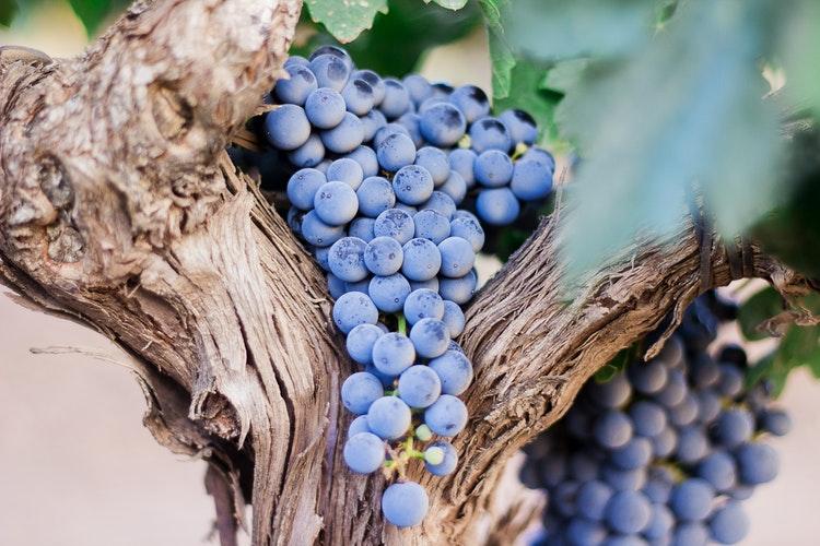 Grappolo uva nera da vino foto di Nacho Dominguez Argenta da unsplash